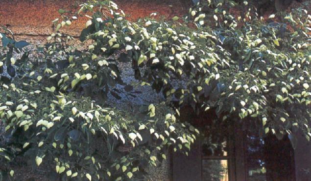 Giardinaggio home page - Ortensia rampicante petiolaris ...