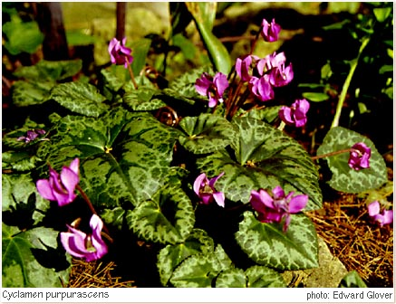 Cyclamen_purpurascens.jpg - 66401 Bytes