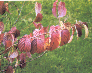 Stachyurus in veste autunnale